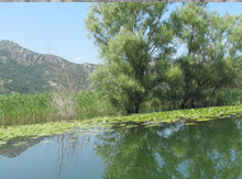 Настоящее Дерево Открытий растет прямо из глубин Скадарского озера